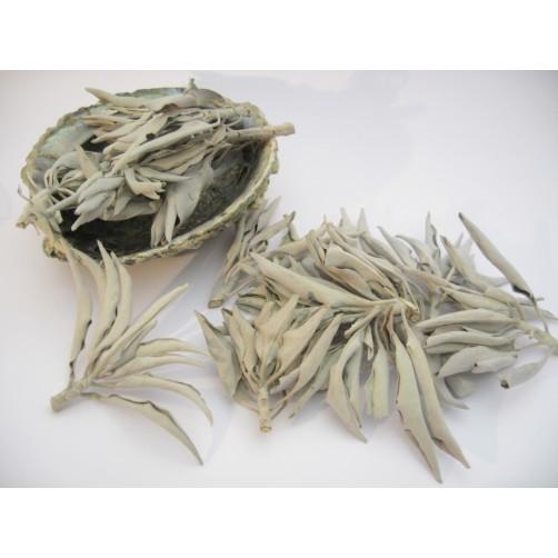 Abalone školjka  13 x 10 cm